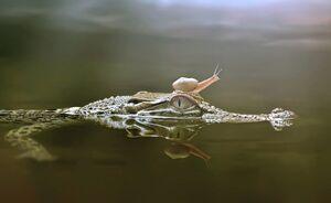 عکس/ سواری گرفتن حلزون از تمساح