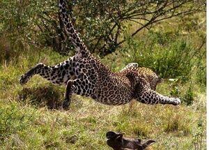 عکس/ پرواز یوزپلنگ به سمت شکار!
