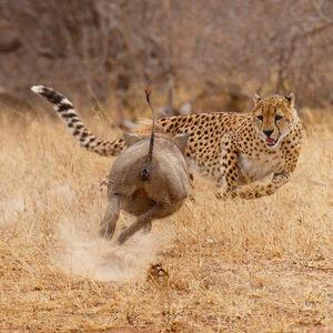 پرواز یوزپلنگ به سمت شکار