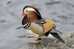 عکس/ زیباترین اردک جهان