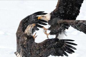 نبرد عقابها
