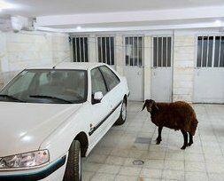 لطفا بین سگ و گوسفند در آپارتمان تبعیض قائل نشوید +عکس