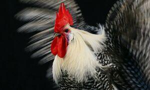 عکس/ جشنواره مرغ و خروس در ترکیه