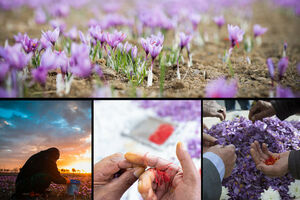 زعفران ایرانی به نام افغانستان