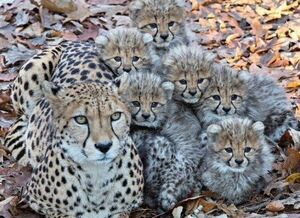 تصویری دیدنی از خانواده یوزپلنگها