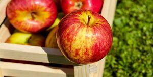 ذخیرهسازی ۷۰۰ هزار تن سیب در کشور