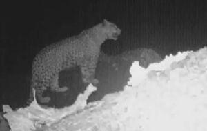 شکار پلنگ ایرانی توسط دوربینهای تلهای