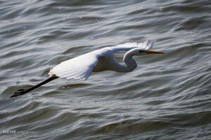 عکس/ بازگشت پرندگان به تالاب هور العظیم