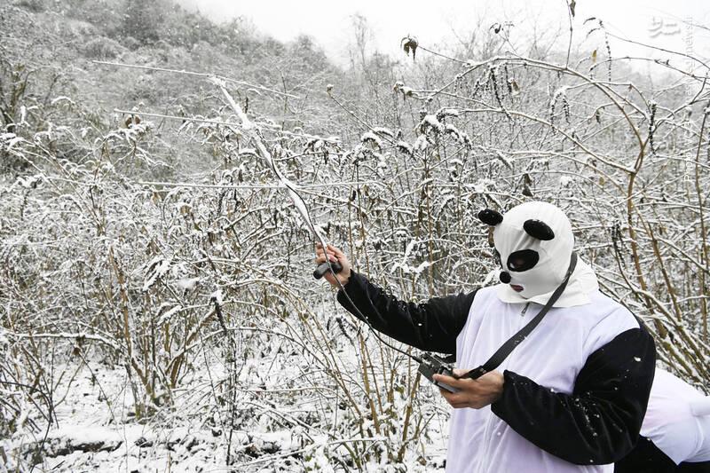 رصد تحرکات دو پاندای رهاشده در منطقه محافظتشده ملی، استان سیچوان چین