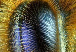 عکس/ چشم زنبور از نمای نزدیک