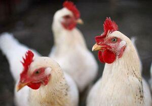 بهانههای جدید برای گرانفروشی مرغ / حجتی حق ندارد قیمت مرغ را ۱۰ هزار تومان اعلام کند