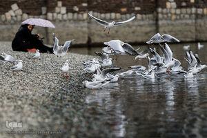 عکس/ میهمانان زمستانی دریاچه چیتگر