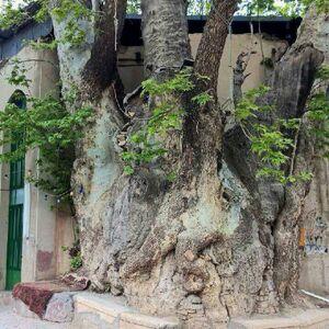 عکس/ درختی ١٥٠٠ساله در قم