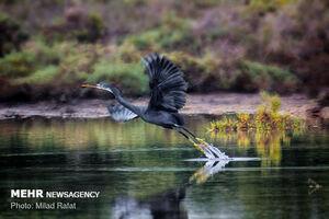 عکس/ بهشت زمستانی پرندگان مهاجر!