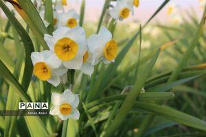 برداشت گل نرگس در گلهدار فارس