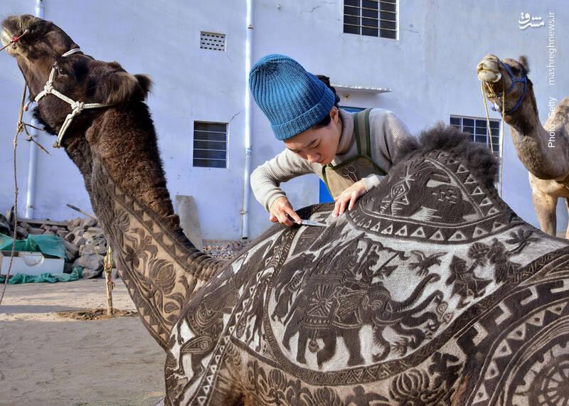 هنرنمایی یک پیرایشگر ژاپنی در جشنواره شترها، بیکنر هند