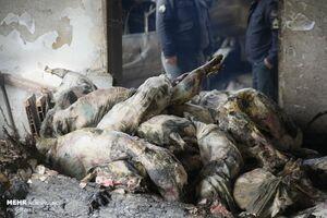 فیلم/ خروج لاشههای گوسفند از هواپیمای بوئینگ