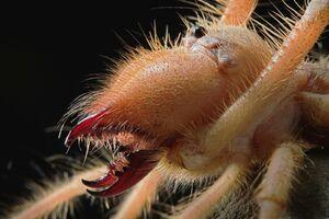 نمای نزدیک از آرواره عنکبوت