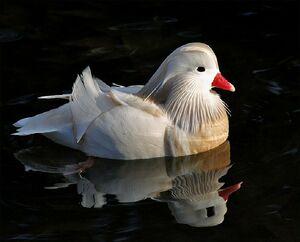 زیباترین اردک های دنیا!
