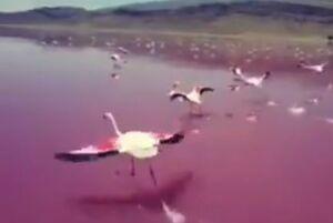 پرواز فلامینگوها بر فراز دریاچه صورتی +فیلم