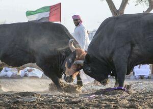 عکس/ گاوبازی در امارات