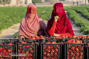 عکس/ آغاز برداشت گوجه از مزارع جنوب
