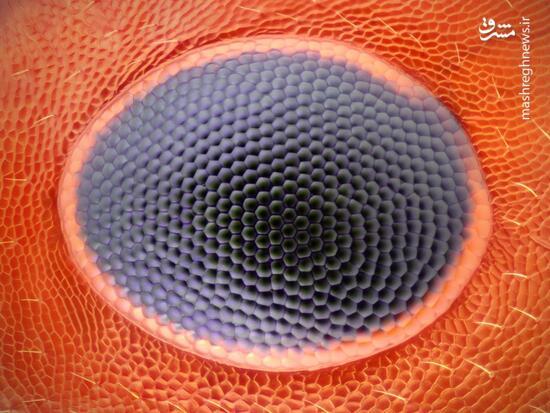 عکس/ نمایی نزدیک از چشم مورچه