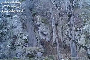 فیلم/ جدیدترین تصاویر از پلنگ زیبای ایرانی