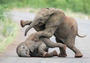 فیلم/ وقتی فیل بازیش میگیره!