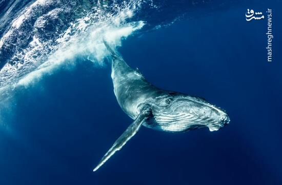 عکس/ نهنگ کنجکاو