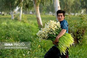 عکس/ برداشت گل نرگس از نرگسزارهای بهبهان