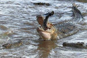 تکه تکه شدن گورخر توسط تمساح ها