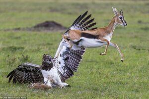 عکس/ تلاش برای آزادی بچه آهو از چنگال عقاب