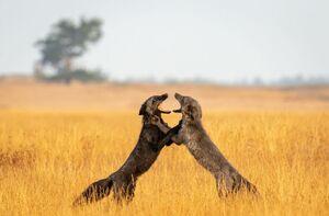 عکس/ دعوای سخت دو روباه سرخ