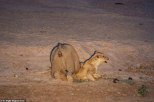 عکس/ مرگ یک شکارچی توسط فیل