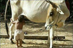 عکس/ شیر خوردن کودک از منبع اصلی!