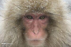 فیلم/ مشاهده میمون در جنگلهای گیلان!