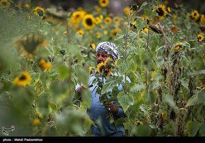 عکس/ پرورش آفتابگردان در اهواز