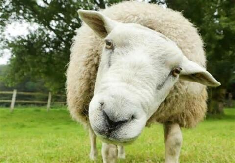 فیلم/ خیلی گوسفندی...!