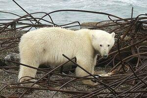 حمله خرسهای قطبی به یک روستا+ عکس