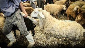 دولت در قاچاق گوسفند و واردات دوباره آن، مقصر اصلی است
