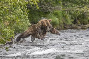 عکس/ شیرجه خرس روی طعمه!