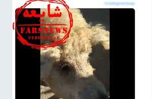 واردات گوشت خوک گوسفندی صحت دارد؟ +عکس