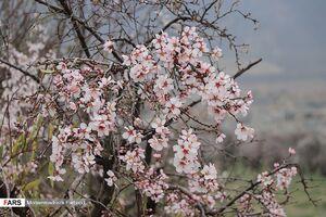 عکس/ شکوفه درخت بادام سروستان