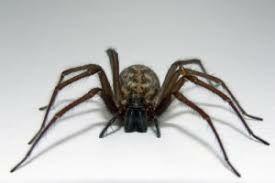 فیلم/  سیدنی در اشغال عنکبوت های سمی!