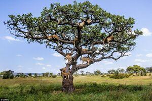 خواب شیرها بالای درخت