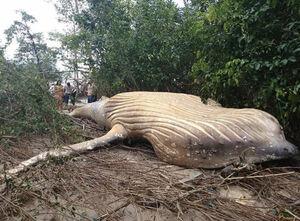 کشف یک نهنگ ۱۰ تنی در جنگل های آمازون!
