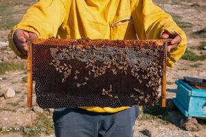عکس/ کارآفرینی با زنبورهای عسل