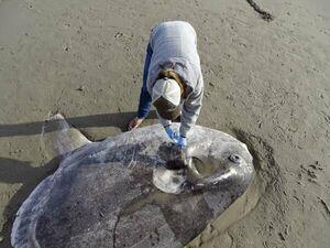 کشف یک ماهی عظیم در ساحل کالیفرنیا+ عکس