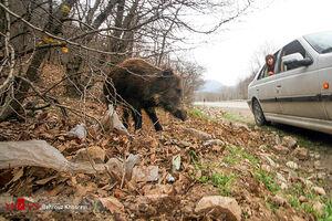 عکس/ گرازهای گرسنه در جادههای گلستان!